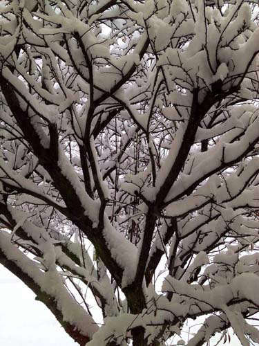 "<div class=""meta ""><span class=""caption-text "">Snow-covered  trees in Lemont. (FACEBOOK/Dorothy Shagg)</span></div>"