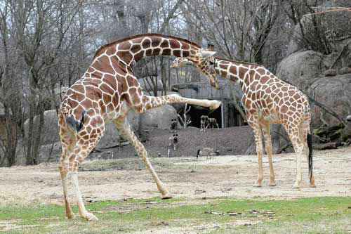 Two of Brookfield Zoo's female giraffes, Arnieta, 6, (left) and Mithra, 22, are able to enjoy the warmer temperatures today in their outdoor habitat for the first time this year.