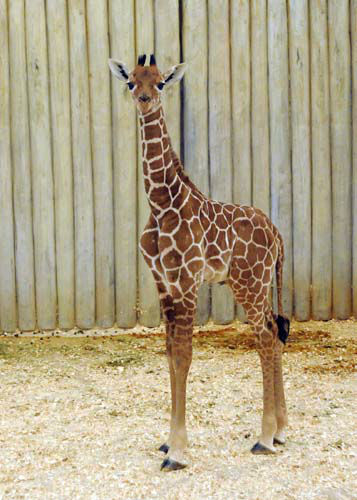 "<div class=""meta ""><span class=""caption-text "">A male giraffe calf born at Brookfield Zoo on November 12 can be seen in the Habitat Africa! The Savannah exhibit. (Jim Schulz/Chicago Zoological Society)</span></div>"