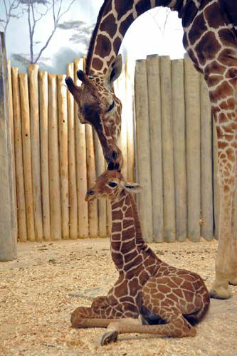 "<div class=""meta ""><span class=""caption-text "">A male giraffe calf born at Brookfield Zoo on November 12 with his mom, Arnieta, 5. (Jim Schulz/Chicago Zoological Society)</span></div>"