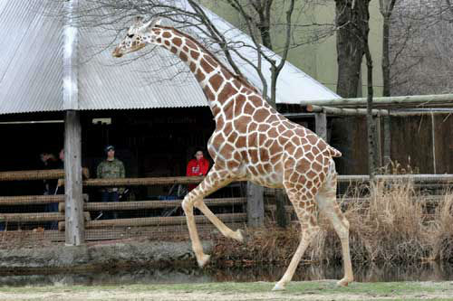 Guests watch Jasiri, a 7-year-old giraffe at Brookfield Zoo. With the warmer temperature today, the zoo's giraffe herd was given access to their outdoor habitat for the first time this year.