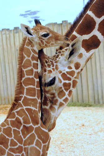 A male giraffe calf born at Brookfield Zoo on November 12 with his mom, Arnieta, 5. <span class=meta>(Photo&#47;)</span>