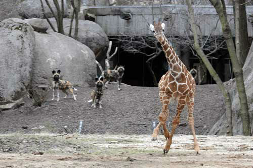 Dave, a 5-month-old giraffe at Brookfield Zoo kicks up his hooves as he made his outdoor debut today at the Habitat Africa! The Savannah exhibit.