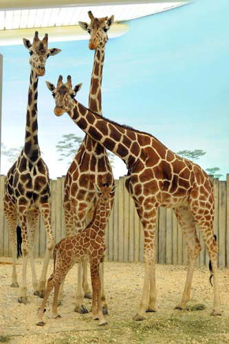 A male giraffe calf born at Brookfield Zoo on November 12 can be seen in the Habitat Africa! The Savannah exhibit along with the rest of the herd that includes Franny &#40;pictured left to right&#41;, the calf?s grandmother; Mithra; and Arnieta, the calf?s mom. <span class=meta>(Jim Schulz&#47;Chicago Zoological Society)</span>