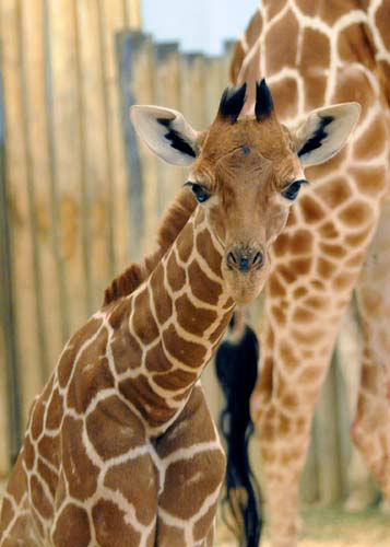 Baby giraffe at Brookfield Zoo