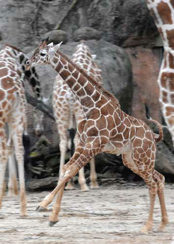 "<div class=""meta ""><span class=""caption-text "">Dave, a 5-month-old giraffe at Brookfield Zoo kicks up his hooves as he made his outdoor debut today at the Habitat Africa! The Savannah exhibit.</span></div>"