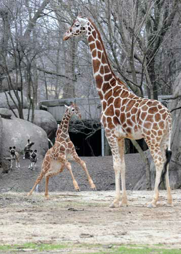 Brookfield Zoo's giraffes Dave, 5 months old (left), and Mithra, 22, enjoy the warmer temperatures as they were given access to their outdoor habitat for the first time this year. The African painted dogs seem to be curiously watching in the background.