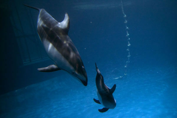 "<div class=""meta ""><span class=""caption-text "">It's a boy! The Shedd Aquarium announced on June 12, 2012, that its two-week-old Pacific-sided dolphin and his mother are getting along swimmingly. The male calf still has to reach many milestones, according to Shedd staff.  (Photo/Shedd Aquarium)</span></div>"