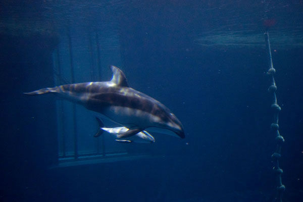 It&#39;s a boy! The Shedd Aquarium announced on June 12, 2012, that its two-week-old Pacific-sided dolphin and his mother are getting along swimmingly. The male calf still has to reach many milestones, according to Shedd staff.  <span class=meta>(Photo&#47;Shedd Aquarium)</span>