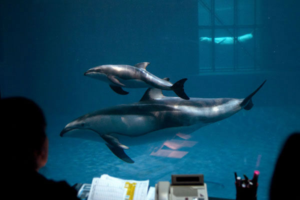 "<div class=""meta image-caption""><div class=""origin-logo origin-image ""><span></span></div><span class=""caption-text"">It's a boy! The Shedd Aquarium announced on June 12, 2012, that its two-week-old Pacific-sided dolphin and his mother are getting along swimmingly. The male calf still has to reach many milestones, according to Shedd staff.  (Photo/Shedd Aquarium)</span></div>"
