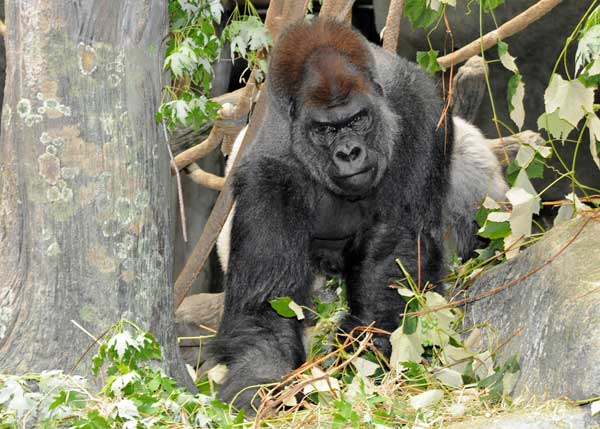 "<div class=""meta ""><span class=""caption-text "">JoJo, a 32-year-old male western lowland gorilla, has a new home at Brookfield Zoo. He is on a breeding loan from Lincoln Park Zoo based on a recommendation from the Association of Zoos and Aquariums' Gorilla Species Survival Plan. JoJo is currently one of the most genetically valuable males in the zoo population, and he is an excellent match for all three females currently at Brookfield Zoo. (Jim Schulz/Chicago Zoological Society)</span></div>"