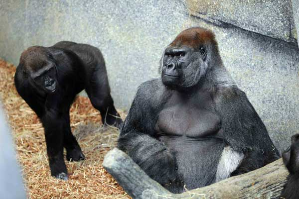 Kamba, 8, and JoJo, 32 western lowland gorillas at Brookfield Zoo <span class=meta>(Jim Schulz&#47;Chicago Zoological Society)</span>