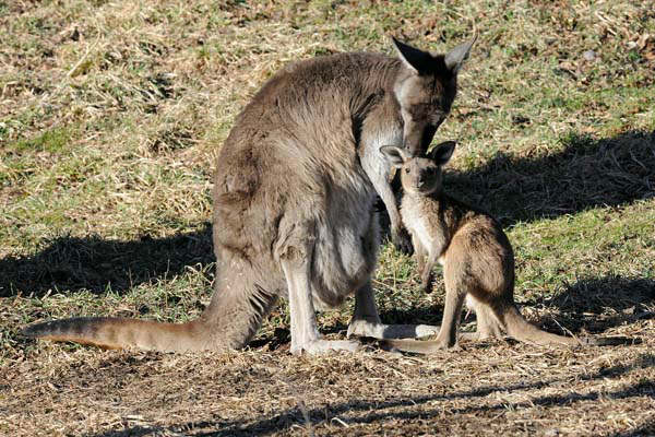 A nearly 11-month-old male kangaroo joey hangs out with his mom, Daisy, 7 1&#47;2 , at Brookfield Zoo&#39;s Australia House exhibit. As he grows, he obviously will be too big to fit in the pouch but will still stick his head in to nurse until he is about 18 months of age. <span class=meta>(Jim Schulz&#47;Chicago Zoological Society)</span>