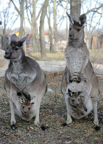 Kangaroo moms, Sheila, 11, &#40;left&#41; and Daisy, 7 1&#47;2, with their joeys. The joeys were born on February 20 and March 13 of last year and have only recently emerged from the pouches to explore their new surroundings at Brookfield Zoo&#39;s Australia House exhibit. <span class=meta>(Jim Schulz&#47;Chicago Zoological Society)</span>