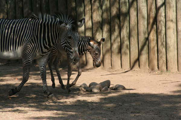 He was born just last week, on August 23. His brother, Enzi, born in 2010, also lives at Lincoln Park Zoo. <span class=meta>(Photo&#47;Lincoln Park Zoo)</span>