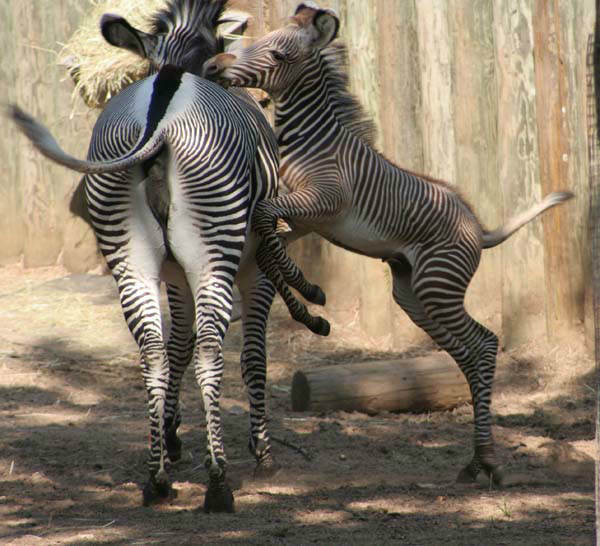 "<div class=""meta ""><span class=""caption-text "">Quite a debut for a baby zebra born at Lincoln Park Zoo! Kito, which means ''jewel'' in Swahili, showed off for zoo guests on Friday, August 31, 2012. (Photo/Lincoln Park Zoo)</span></div>"