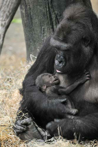 In the wild, western lowland gorillas are critically endangered due to habitat destruction, primarily from logging; disease such as the Ebola virus; the illegal pet trade; and poaching for bushmeat.  <span class=meta>(Jim Schulz&#47;Chicago Zoological Society)</span>
