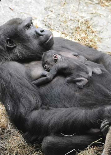 The baby&#39;s father, JoJo, is from Lincoln Park Zoo and arrived at Brookfield Zoo in May 2012 based on a recommendation from the Species Survival Plan. <span class=meta>(Jim Schulz&#47;Chicago Zoological Society)</span>