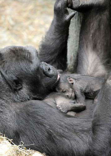 Koola, an 18-year-old western lowland gorilla, and her little girl. <span class=meta>(Jim Schulz&#47;Chicago Zoological Society)</span>