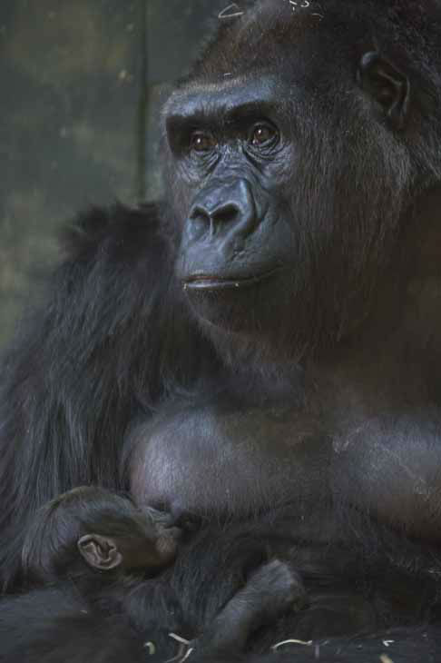 "<div class=""meta ""><span class=""caption-text "">Lincoln Park Zoo is showing off its healthy baby western lowland gorilla, born on October 11, 2012. (Photo/Todd Rosenberg)</span></div>"