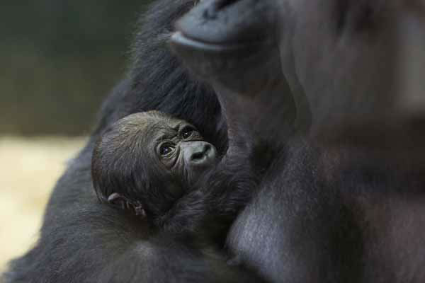 Lincoln Park Zoo is showing off its healthy baby western lowland gorilla, born on October 11, 2012. <span class=meta>(Photo&#47;Todd Rosenberg)</span>