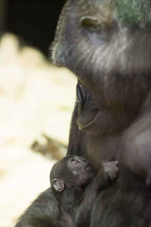 "<div class=""meta image-caption""><div class=""origin-logo origin-image ""><span></span></div><span class=""caption-text"">Lincoln Park Zoo is showing off its healthy baby western lowland gorilla, born on October 11, 2012. (Photo/Todd Rosenberg)</span></div>"