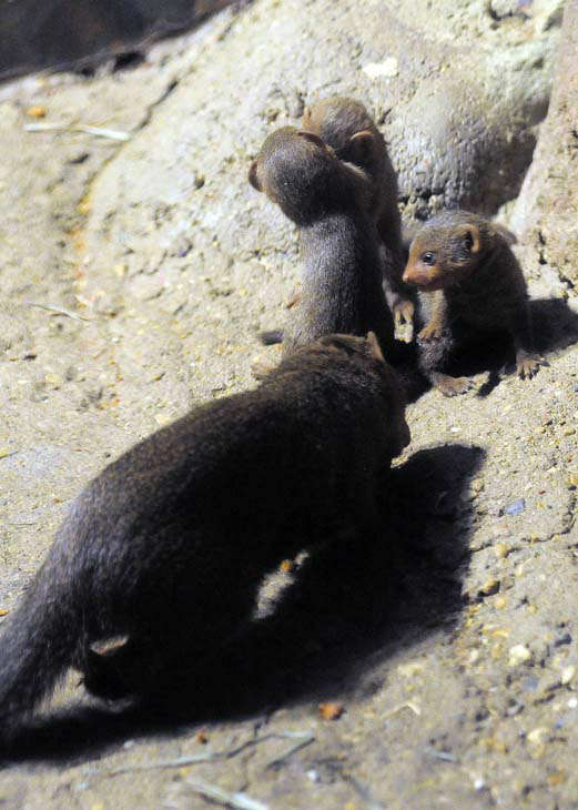 They are the first litter for mom, Tavi. She?s the one who goes out and forages for food.  <span class=meta>(Jim Schulz&#47;Chicago Zoological Society)</span>