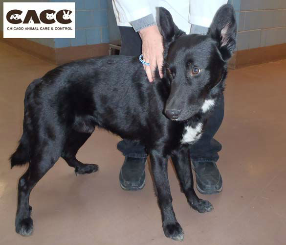 The dog was taken to Chicago Animal Care and Control. <span class=meta>(Chicago Animal Care and Control)</span>