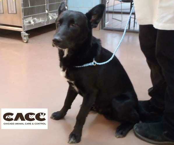 Officials believe he?s a black Belgian shepherd.  <span class=meta>(Chicago Animal Care and Control)</span>