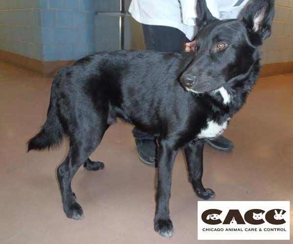 He had no collar and was no micro-chip identifying his owners.   <span class=meta>(Chicago Animal Care and Control)</span>