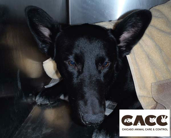 CACC hopes the owners will come forward.  <span class=meta>(Chicago Animal Care and Control)</span>
