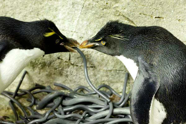 Penguins build love nests at Shedd Aquarium <span class=meta>(Photo&#47;Brenna Hernandez)</span>