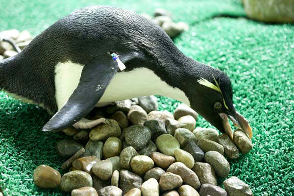 "<div class=""meta ""><span class=""caption-text "">Penguins build love nests at Shedd Aquarium (Photo/Brenna Hernandez)</span></div>"