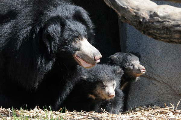 Sloth bear cubs born at Brookfield Zoo on January 20, 2013, can now be seen on exhibit with their mom Hani. Until today, May 8, 3 1&#47;2-month-old male and female cubs have been off exhibit with Hani in a maternity den growing by leaps and bounds.  <span class=meta>(Jim Schulz&#47;Chicago Zoological Society)</span>