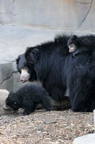 "<div class=""meta ""><span class=""caption-text "">Sloth bear cubs born at Brookfield Zoo on January 20, 2013, can now be seen on exhibit with their mom Hani. Until today, May 8, 3 1/2-month-old male and female cubs have been off exhibit with Hani in a maternity den growing by leaps and bounds.  (Jim Schulz/Chicago Zoological Society)</span></div>"