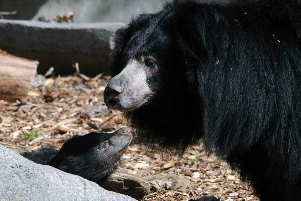 "<div class=""meta image-caption""><div class=""origin-logo origin-image ""><span></span></div><span class=""caption-text"">Sloth bear cubs born at Brookfield Zoo on January 20, 2013, can now be seen on exhibit with their mom Hani. Until today, May 8, 3 1/2-month-old male and female cubs have been off exhibit with Hani in a maternity den growing by leaps and bounds.  (Jim Schulz/Chicago Zoological Society)</span></div>"