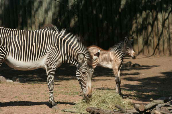 The baby boy and his mother, Adia, 5; and father, Clayton, 6; are at the Lincoln Park Zoo?s Antelope and Zebra Area. <span class=meta>(Photo&#47;Lincoln Park Zoo)</span>