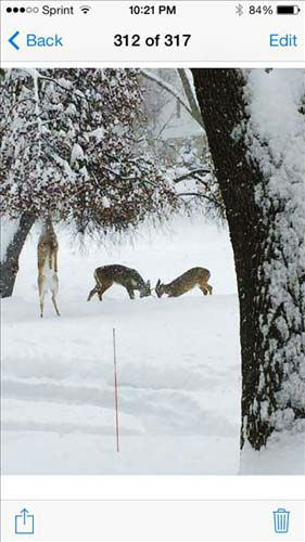 picture of one deer doing what it takes to reach a crabapple tree in North Barrington while others wrestle inthe back. <span class=meta>(USEEIT@ABC7CHICAGO.COM)</span>