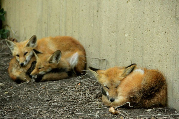 A family of foxes was spotted near Northwestern University&#39;s library on the Evanston campus. The three babies, or kits, played along the library&#39;s concrete wall and then ventured on to the lagoon, according to North by Northwestern, northbynorthwestern.com.  <span class=meta>(Natalie Krebs&#47;northbynorthwestern.com)</span>