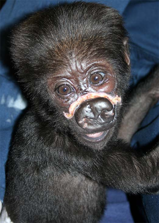 &#34;Nayembi,&#34; a 3-month-old western lowland gorilla at Lincoln Park Zoo, is recovering after suffering major injuries to her face on February 20. <span class=meta>(Lincoln Park Zoo)</span>