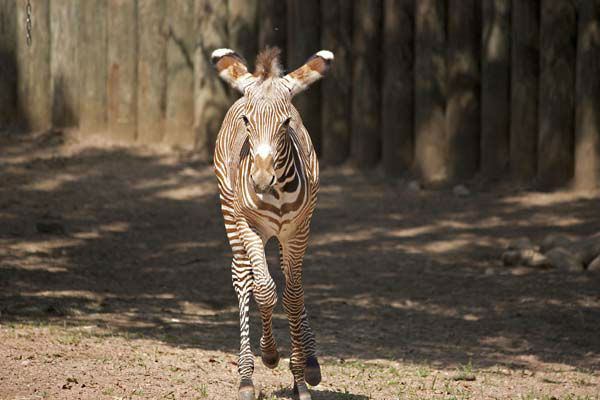 The darling zebra is part of a breeding program for the endangered African animal. <span class=meta>(Craig Keller&#47;Lincoln Park Zoo)</span>