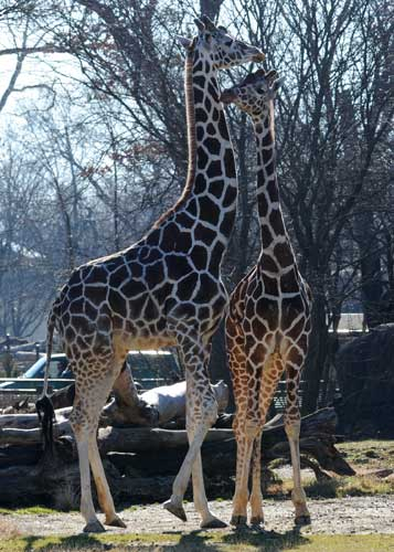 "<div class=""meta ""><span class=""caption-text "">The giraffes at Brookfield Zoo jumped for joy Tuesday, January 10, 2012, at the chance to stretch their long legs outside during the unseasonably warm temperatures. (Jim Schulz/Chicago Zoological Society)</span></div>"