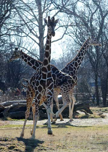 The giraffes at Brookfield Zoo jumped for joy Tuesday, January 10, 2012, at the chance to stretch their long legs outside during the unseasonably warm temperatures. <span class=meta>(Jim Schulz&#47;Chicago Zoological Society)</span>