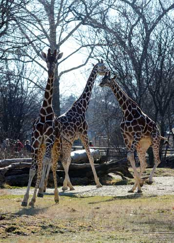 "<div class=""meta image-caption""><div class=""origin-logo origin-image ""><span></span></div><span class=""caption-text"">The giraffes at Brookfield Zoo jumped for joy Tuesday, January 10, 2012, at the chance to stretch their long legs outside during the unseasonably warm temperatures. (Jim Schulz/Chicago Zoological Society)</span></div>"