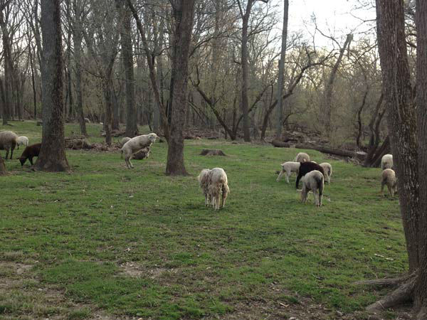 Dozens of sheep are roaming in southwest suburban Cook County, and that's not going over well in unincorporated Lemont.