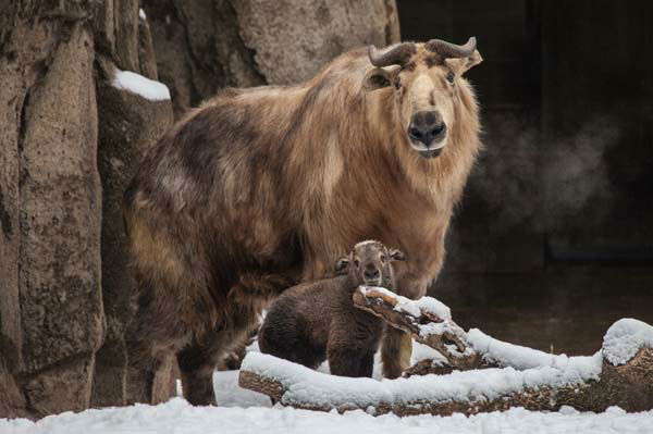 A yak? An ox? A buffalo? Not quite. Takins are goats. Great big, dangerous goats from China. <span class=meta>(Christopher Bijalba &#47; Lincoln Park Zoo)</span>