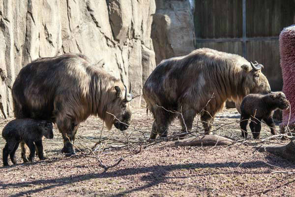 The two new takin babies are just starting to learn that they are in for a lifetime of being confused with other animals. Just look at them. What are they? What do they look like?  <span class=meta>(Christopher Bijalba &#47; Lincoln Park Zoo)</span>