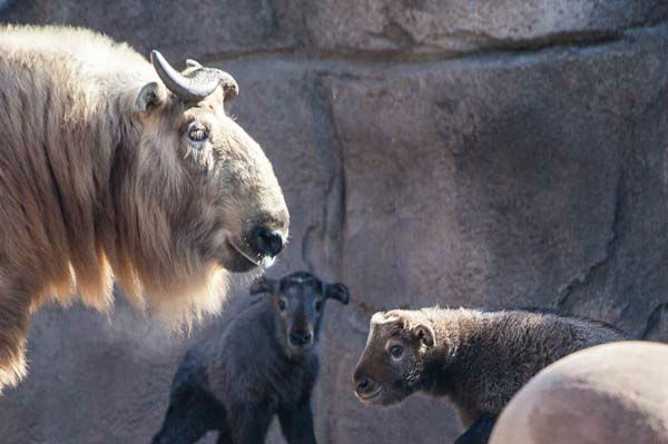 Takin look so peaceful and gentle, but Bernier recommends staying away.  &#34;They are very formidable animals. These are animals that we consider to be dangerous. We would never be in the same space with them,&#34; Bernier said.  <span class=meta>(Christopher Bijalba &#47; Lincoln Park Zoo)</span>