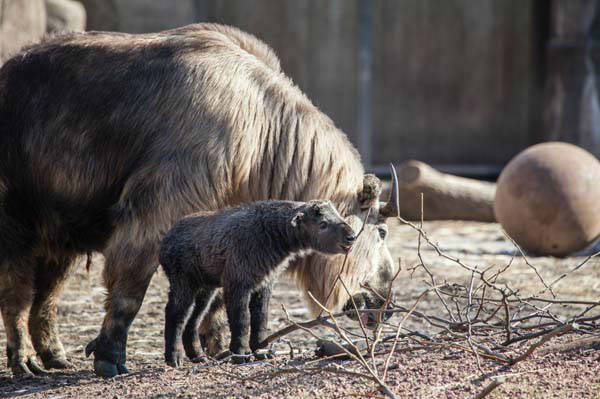 "<div class=""meta image-caption""><div class=""origin-logo origin-image ""><span></span></div><span class=""caption-text"">The two tiny takin weigh about 25 pounds. When full grown, they could reach 600 pounds. So stop by Lincoln Park Zoo before they lose their cuteness.  (Christopher Bijalba / Lincoln Park Zoo)</span></div>"