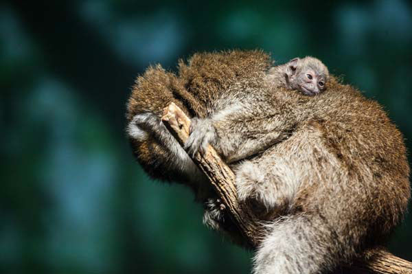 &#39;&#39;The baby is spending most of its time nestled in the thick fur on mom?s back, but we do get a glimpse of its little face peeking up now and then,&#39;&#39; said Curator of Primates Maureen Leahy through a zoo statement.  <span class=meta>(Photo&#47;Christopher Bijalba, Lincoln Park Zoo)</span>